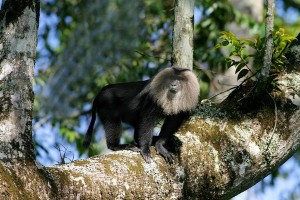 MALE LION-TAILED MACAQUE & ITS CANOPY HOME