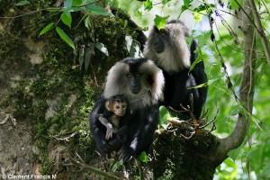 LION TAILED MACAQUE FAMILY