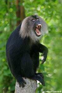 LION TAILED MACAQUE – MALE