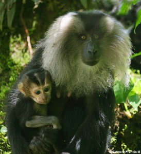 LION-TAILED MACAQUE (FEMALE AND YOUNG)