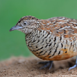 Barred Button Quail