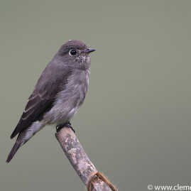 Dark-sided Flycatcher