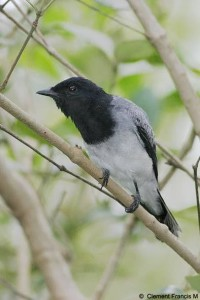 Black Headed Cuckoo