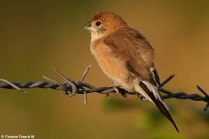 Indian Silverbill at Layout