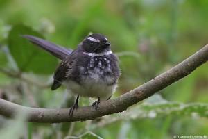 Spotted Fantail Flycatcher