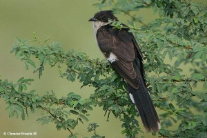 Pied Cuckoo photographed at Layout