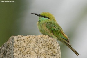 Green Bee-eater photographed at Layout