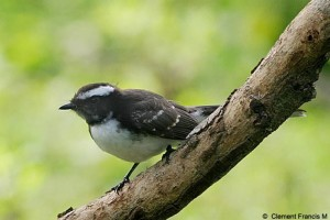 White-browed Fantail Flycatcher