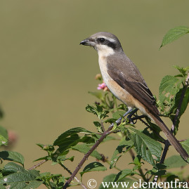 Phillipine Shrike