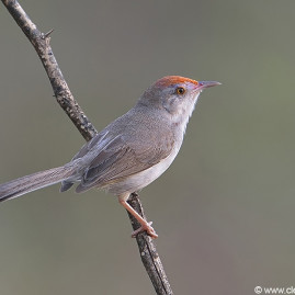 Rufus-fronted Prinia