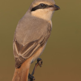 Rufus-tailed Shrike