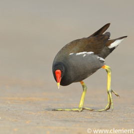 Indian Moorhen
