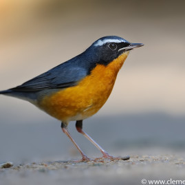 Indian Blue Robin (Male)