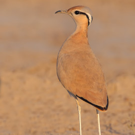 Desert or Cream coloured Courser