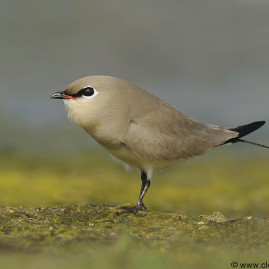 Small Indian Pratincole