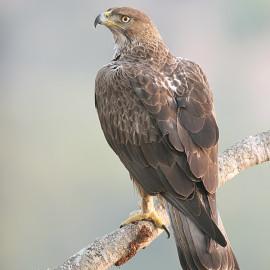 Bonelli's (Hawk) Eagle Hieraaetus fasciatus