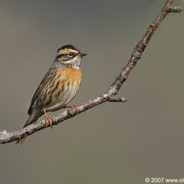 Rufus-breasted Accentor
