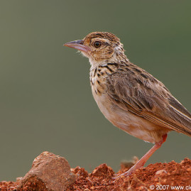 Jerdon's Bush Lark