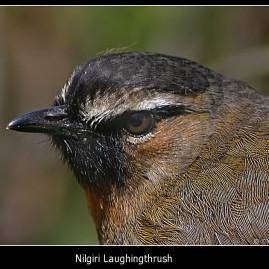 Nilgiri Laughingthrush