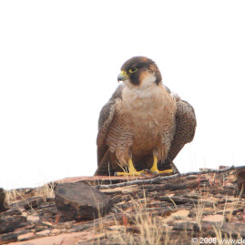Barbary Falcon|Red-naped Shaheen