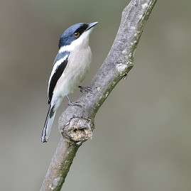 Bar-winged Flycatcher Shrike