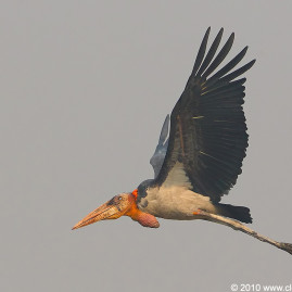 Greater Adjutant Stork
