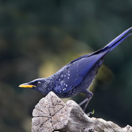 Blue-whistling Thrush