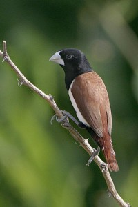 Black-headed Munia Indian Silverbill