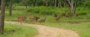 Spotted Deer or Chital in the forest