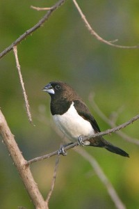 Scaly-bellied Munia White-rumped Munia