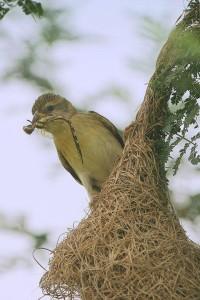Baya weaver (Male) Baya weaver (female)