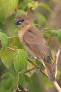 Scaly-bellied Munia (Young) Indian Silverbill (Young)