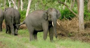 Tusker defending the herd