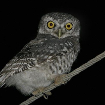 Photographing Spotted Owlets inside Bangalore city