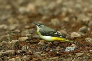 Grey Wagtail (Migrant)