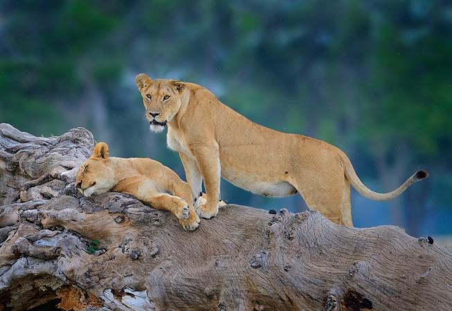 Marsh Pride Lioness