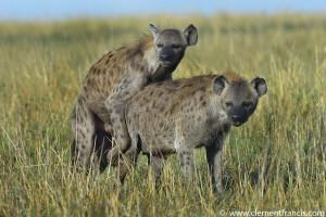 Hyena Mating