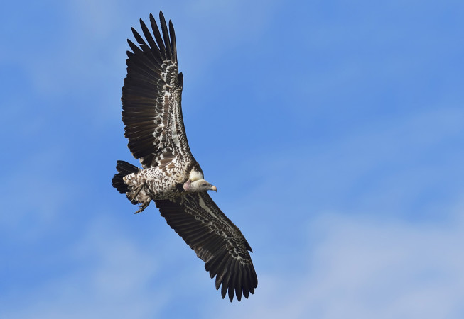 Rupell's Vulture.