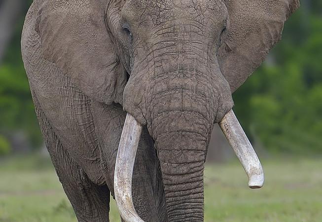 Elephant at Mara