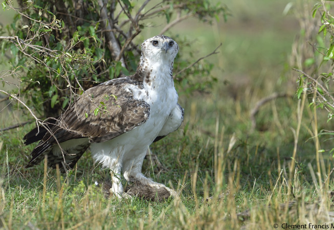 Martial Eagle with kill (banded mongoose)