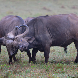 Mara Mammals