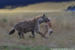 Hyena with prey