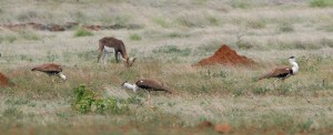 Great Indian Bustard Males with Black Buck – A typical Nannaj landscape