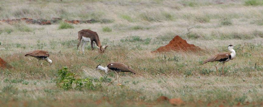 Nannaj – The Land of the Great Indian Bustard