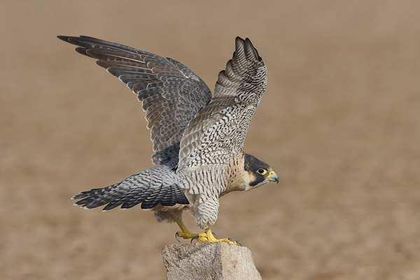 Peregrine Falcon (Falco peregrinus calidus)