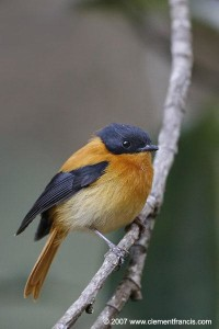 Black & Orange Flycatcher – Male