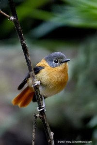 Black & Orange Flycatcher – FeMale