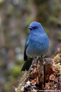 Nilgiri Flycatcher – Male