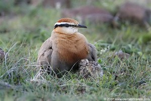 Indian Courser Brooding