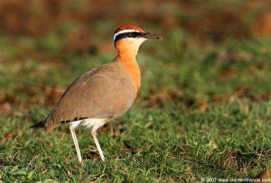 Indian Courser with Prey in its beak